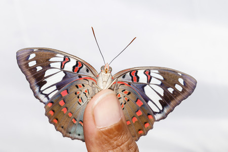 Common Gaudy Baron butterfly ( Euthalia lubentina ) on human finger with white background