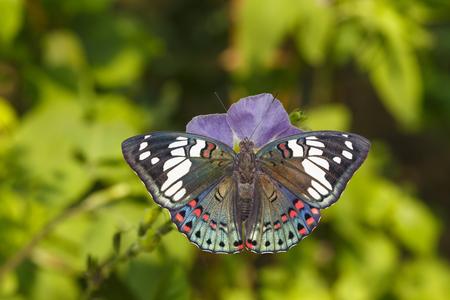 Dorsal view of Common Gaudy Baron butterfly ( Euthalia lubentina ) on flower Stock Photo