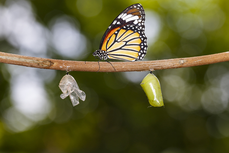 Common tiger butterfly ( Danaus genutia ) hanging on twig with chrysalis and shell