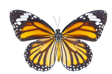 Top view of common tiger butterfly ( Danaus genutia ) on white with clipping path Stock Photo