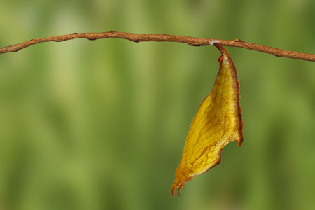Chrysalis of common maplet butterfly hanging on twig