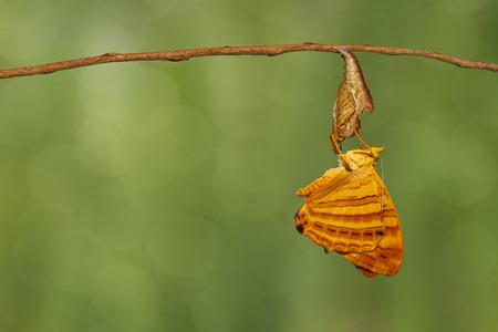 나뭇 가지에 매달려 일반적인 단풍 (Chersonesia risa) 나비 스톡 콘텐츠