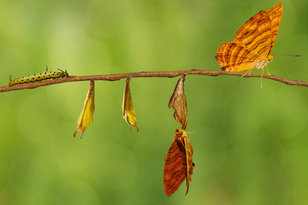 Life cycle of common maplet (Chersonesia risa ) butterfly hanging on chrysalis shell and twig with clipping path Stock Photo