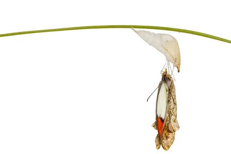 Isolated emerged great orange tip butterfly ( Anthocharis cardamines ) from pupa hanging on twig