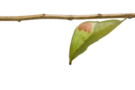 Isolated chrysalis of great orange tip butterfly ( Anthocharis cardamines ) on white with clipping path Stock Photo