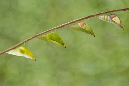 Transformation chrysalis of great orange tip butterfly ( Anthocharis cardamines ) to amture hanging on twig Stock Photo