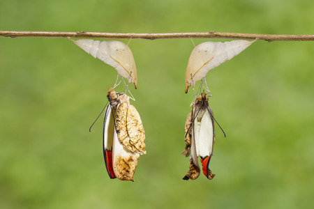 Emerged great orange tip butterfly ( Anthocharis cardamines ) from pupa hanging on twig Stock Photo
