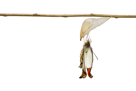 Isolated emerged great orange tip butterfly ( Anthocharis cardamines ) from pupa hanging on twig with clipping path Stock Photo