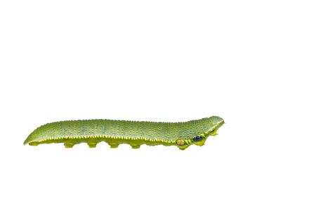 Isolated caterpillar of great orange tip butterfly ( Anthocharis cardamines ) on white with clipping path Stock Photo