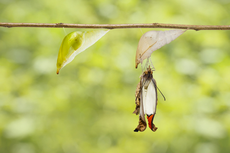 Transformation mature chrysalis of great orange tip butterfly ( Anthocharis cardamines ) on twig