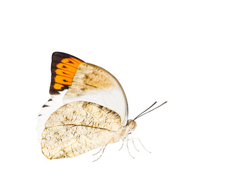 Isolated close up of great orange tip butterfly ( Anthocharis cardamines ) on white with cliping path Stock Photo