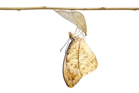 Isolated of emerged caterpillar , pupa to great orange tip butterfly ( Anthocharis cardamines ) hanging on twig with clipping path Stock Photo