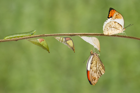 Transformation from caterpillar , pupa to great orange tip butterfly ( Anthocharis cardamines ) hanging on twig