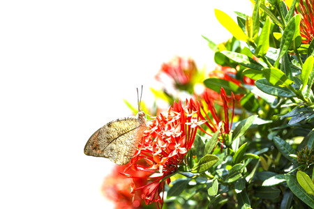 Great orange tip butterfly ( Anthocharis cardamines )  resting on red flower in garden