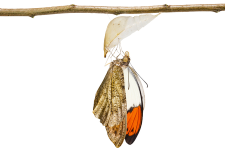 Isolated emerged caterpillar , pupa to great orange tip butterfly ( Anthocharis cardamines ) hanging on twig with clipping path Stock Photo