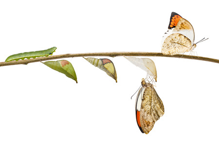Transformation from caterpillar , pupa to great orange tip butterfly ( Anthocharis cardamines ) hanging on twig with clipping path  Stock Photo