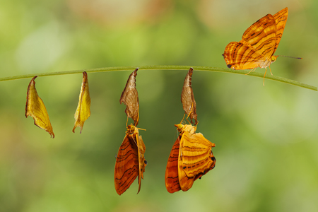 Life cycle of common maplet (Chersonesia risa ) butterfly hanging on chrysalis shell and twig
