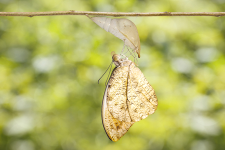 Emerged caterpillar , pupa to great orange tip butterfly ( Anthocharis cardamines ) hanging on twig