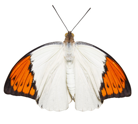 Isolated top view of caterpillar , pupa to great orange tip butterfly ( Anthocharis cardamines ) hanging on twig with clipping path