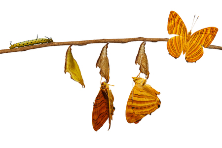 Isolated life cycle of common maplet (Chersonesia risa ) butterfly hanging on chrysalis shell and twig with clipping path