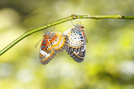 Mating Leopard lacewing (Cethosia cyane euanthes) butterfly hanging on twig Banco de Imagens