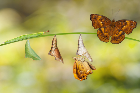 Transformation from caterpillar and chrysalis of female siamese black prince butterfly hanging on twig