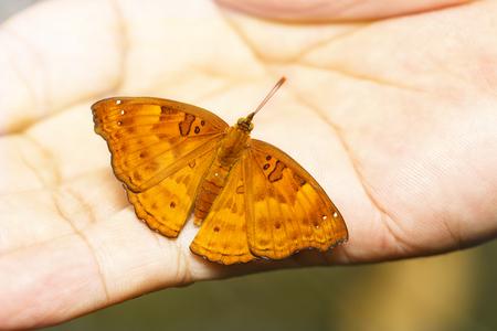 Female of siamese black prince butterfly resting on human man  ( Rohana parisatis )
