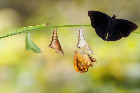 Transformation from caterpillar and chrysalis of  male siamese black prince butterfly hanging on twig ( Rohana parisatis )