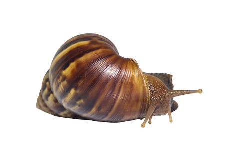 Giant african snail ( Lissachatina fulica ) isolated on white with clipping path