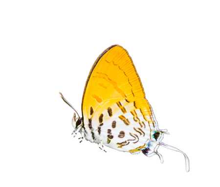 Isolated common posy butterfly on white with clipping path Stock Photo