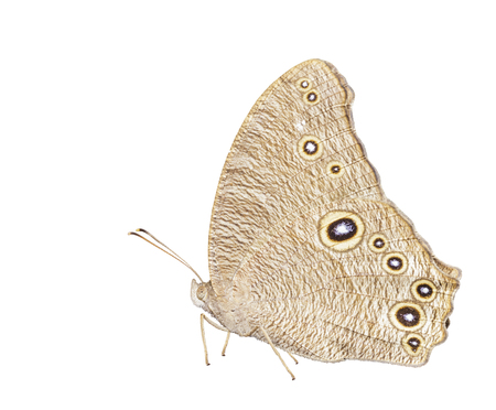 Isolated common evening brown butterfly ( Linnaeus Melanitis ) on white with clipping path