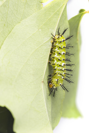 Mature caterpillar of Common leopard butterfly ( Phalanta ) hanging on host plant leaf Фото со стока