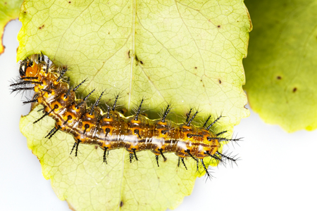 Caterpillar of Common leopard butterfly ( Phalanta ) eating host plant leaf Stock Photo