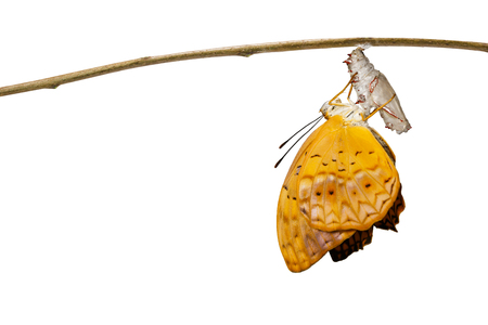 Isolated emerged from chrysalis of common leopard butterfly ( Phalanta ) hanging on twig with clipping path