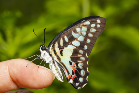 Common jay butterfly (Graphium doson) resting on human finger after birth Stock Photo