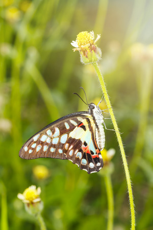 Common jay butterfly (Graphium doson) resting on grass flower after birth in the morning Imagens
