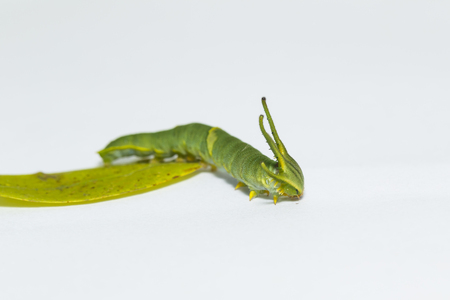 Caterpillar of common nawab butterfly ( Polyura athamas ) in 5th stage walking on white floor