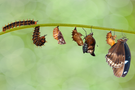 Transformation from caterpillar to great eggfly butterfly ( Hypolimnas bolina Linnaeus ) hanging on twig