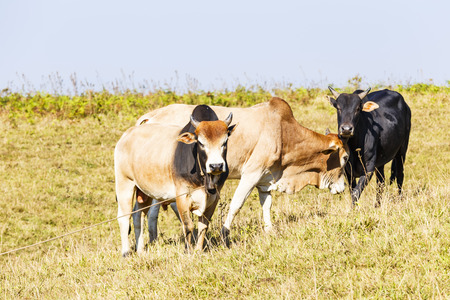 Herd of Thai domestic beef cattle grazing on green pasture Stock Photo