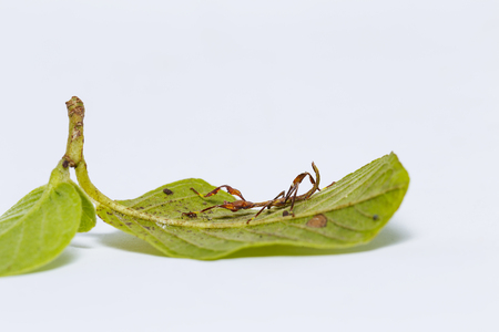 Close up of red and green color second instar leaf insect (Phyllium westwoodi) on its host plant Stock Photo