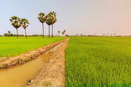 Rice paddy and sugar palm or toddy palm trees on paddy dike, nature view of rural area in Thailand Stockfoto