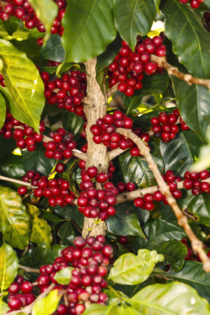 Fresh green and red mature coffee beans on tree, ready for harvesting Imagens