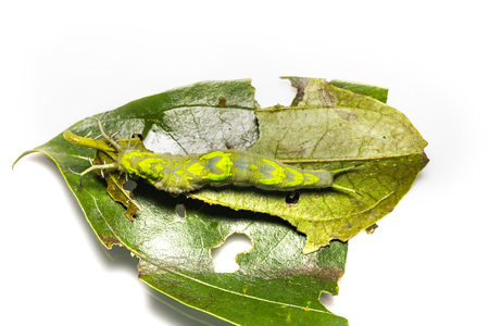 Top view caterpillar of common pasha butterly ( Herona marathus ) resting on host plant leaf Stock Photo