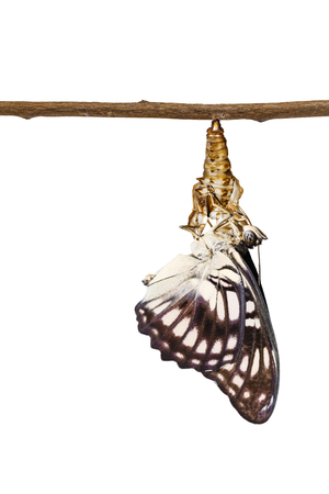 Isolated black-veined sergeant butterfly ( Athyma ranga ) emerging and hanging on chrysaliss shell