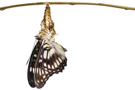 Black-veined sergeant butterfly ( Athyma ranga ) emerging and hanging on chrysaliss shell Stock Photo