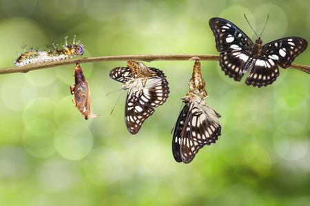 Transformatie van zwart-geaderde sergeant vlinder (Athyma ranga) van rups, pop en tevoorschijn gekomen met schelp hangend takje Stockfoto