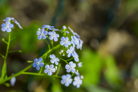 Siberian bugloss flower or forget-me-nots with leaf in the garden , myosotis scorpioides