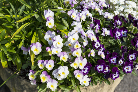 Beautiful pansy flowers are blommong in the garden