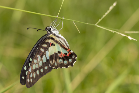 Common jay butterfly (Graphium doson) resting on grass flower after birth in the morning Stock Photo