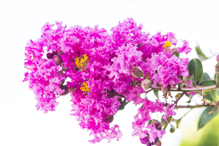 Close up pink crape myrtle flower ( lagerstroemia ) with yellow pollen